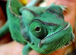 camaleones1